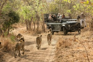 Lions on a game drive in Botswana