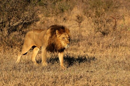 male_Lion_botswana
