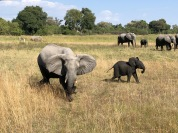 Botswana elephants, on safari with Wilderness Safaris
