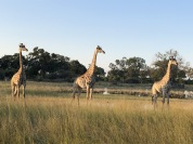 Giraffes in Botswana, on safari with Wilderness Safaris