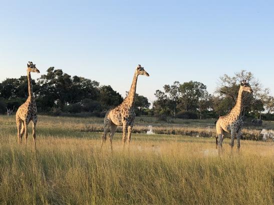Giraffes in Botswana, on safari with Wilderness Safaris